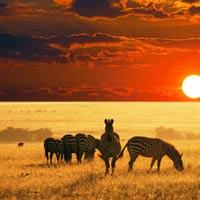 منظره زیبای غروب و گورخرها در صحرا