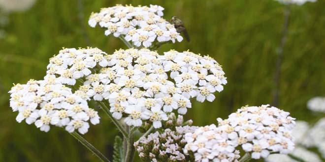 گیاه کامل بومادران
