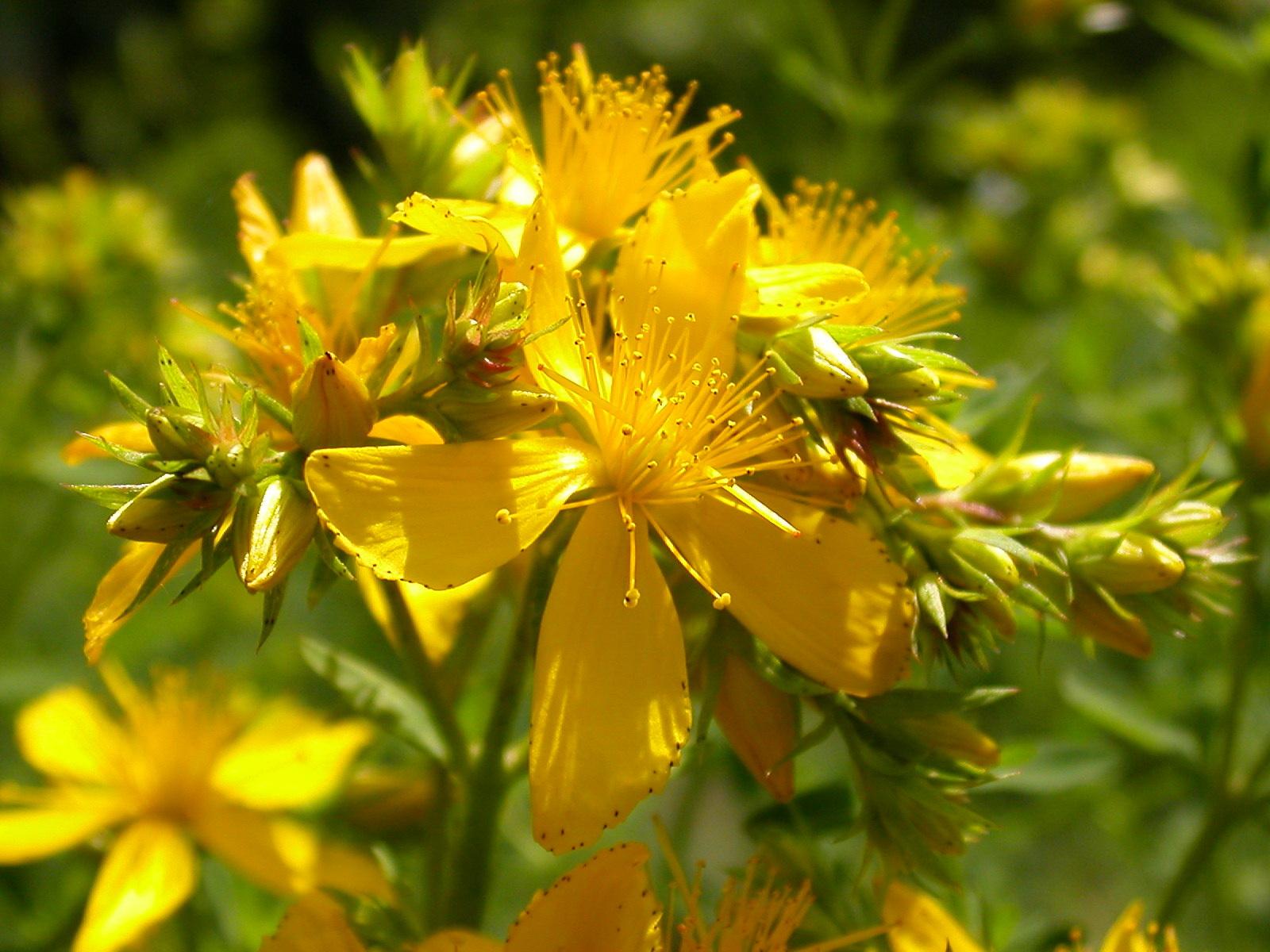 خواص گل راعی جهت درمان سوختگی