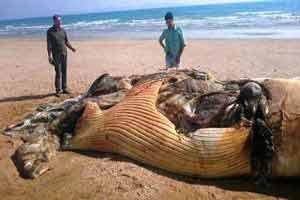 کشف لاشه نهنگ 12 متری در جنوب جزیره قشم , حوادث