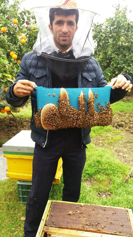 نام مبارک الله با بافت موم توسط زنبور عسل بر روی یکی از کلنی های زنبور عسل جناب آقای میلاد دروگر بازرس شرکت تعاونی زنبورداران قائم شهر نقش بسته است.
