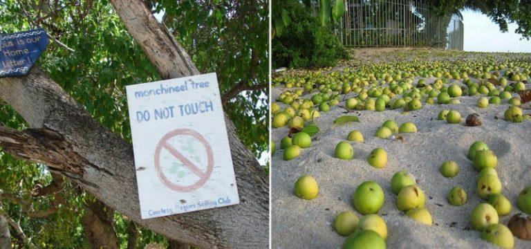 از خطرناکترین درخت جهان چه میدانید؟+ تصاویر , جالب و خواندنی