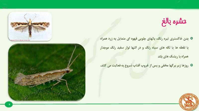 www.sarafraz-hezarmasjed.ir بید کلم