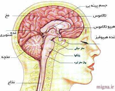 آشنایی با اجزای مختلف مغز و وظایف آنها