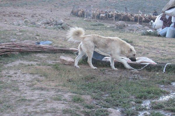 حمله سگ گله به کودک 9 ساله منجر به مرگ او شد ! , حوادث
