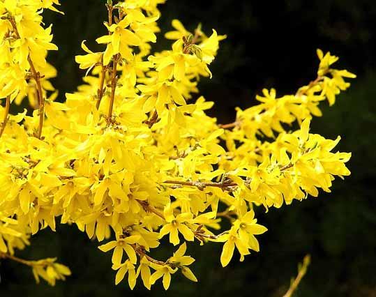رنگ های طبیعی در یاسمن زرد