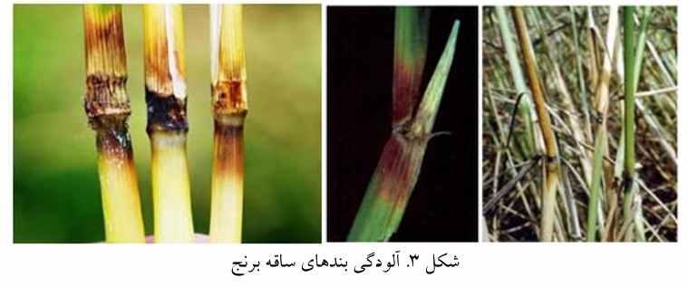 بلاست برنج www.sarafraz-hezarmasjed.ir
