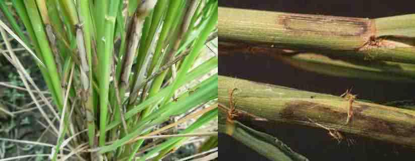 سوختگی غلاف برنج