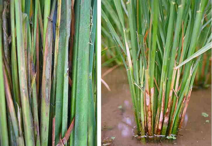 سوختگی غلاف برگ برنج یا شیت بلایت