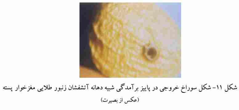شکل خسارت ایجاد شده توسط زنبور مغز خوار پسته