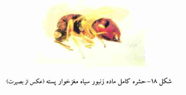 زنبور سیاه مغز خوار پسته