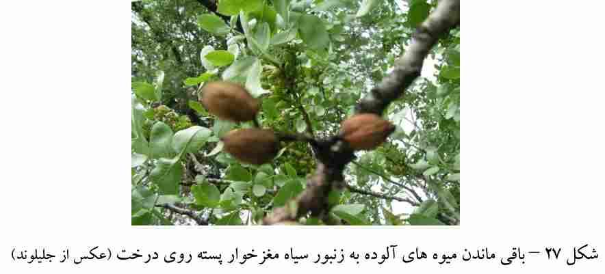 میوه های خسارت دیده از زنبور سیاه مغز خوار پسته