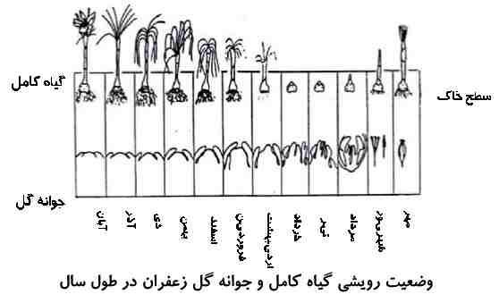 وضعیت رویشی زعفران