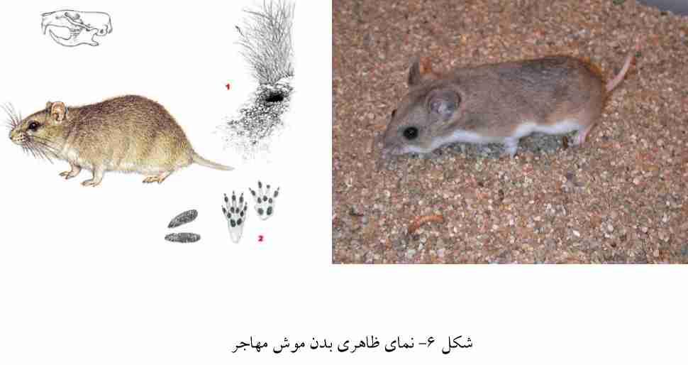 موش مهاجر