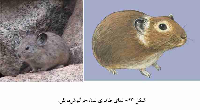 خرگوش موش