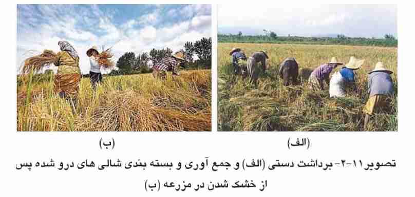 برداشت دستی برنج