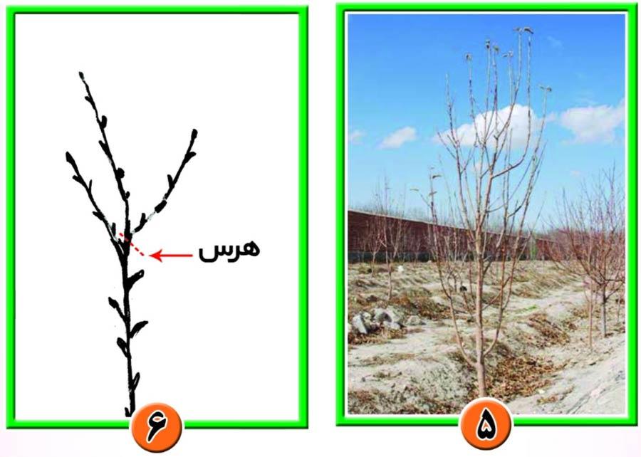 هرس باردهی روی درخت 4 ساله سیب