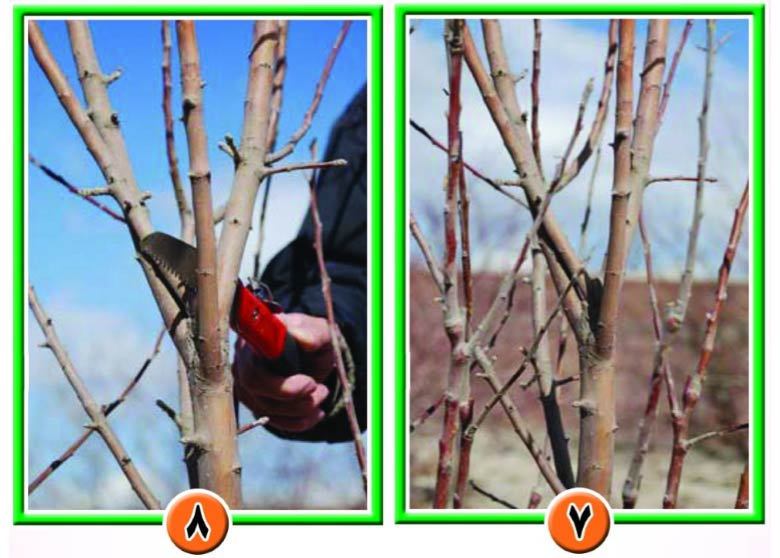 تراکم بالای شاخه به علت عدم هرس و لزوم هرس شاخه های روی هم