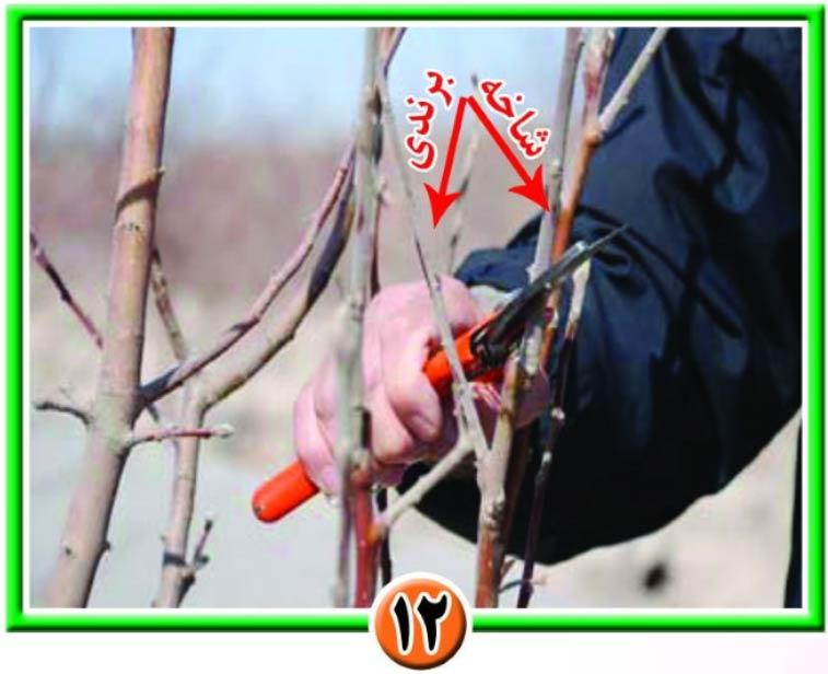 نمای برندی و کورسون روی درخت سیب