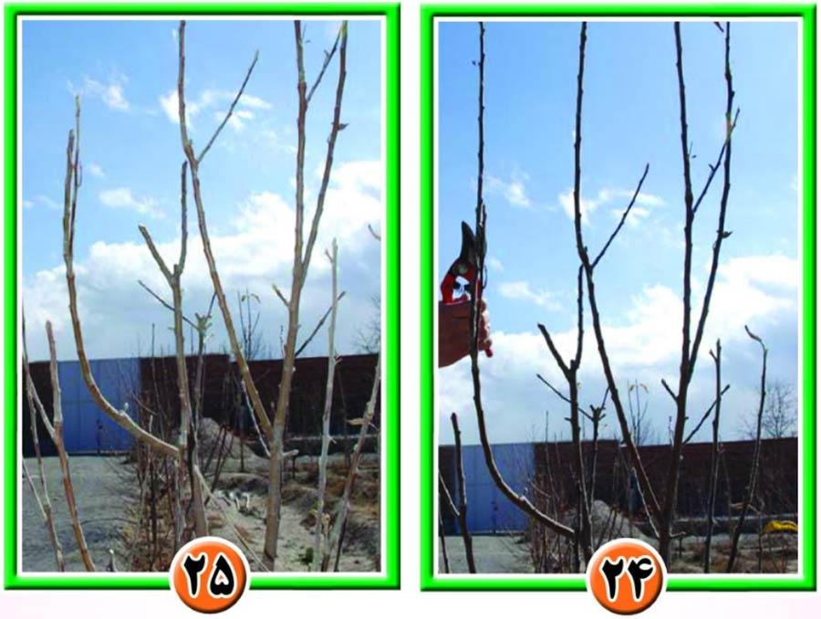 روش تربیت درختان در باغات سیب