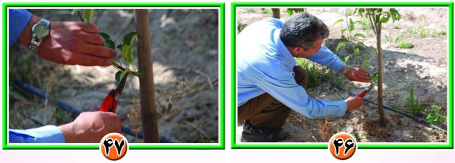 تربیت درختان در باغات سیب