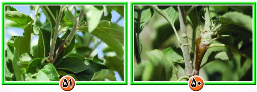 هرس درختان سیب
