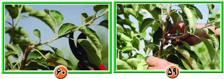 آموزش هرس در باغات سیب