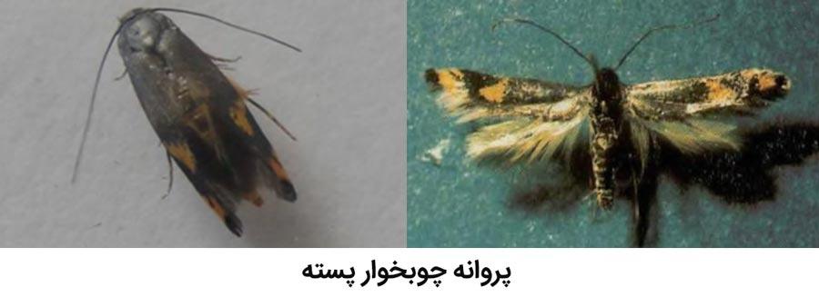 حشره بالغ پروانه چوبخوار پسته (کرمانیا)(kermania pistaciella)