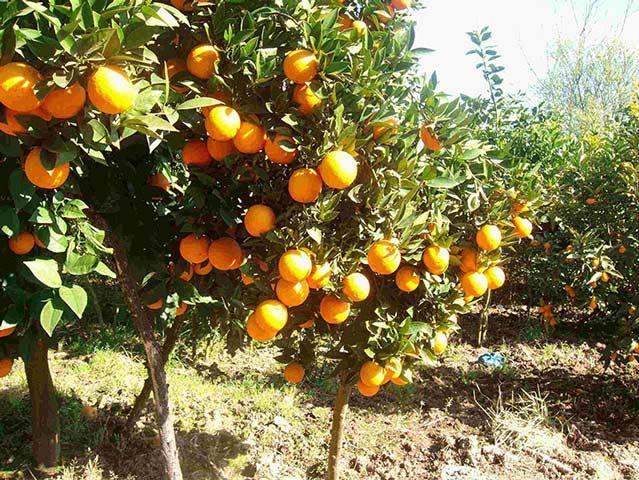 هرس باردهی از مهمترین اقدامات در هرس درخت مرکبات می باشد