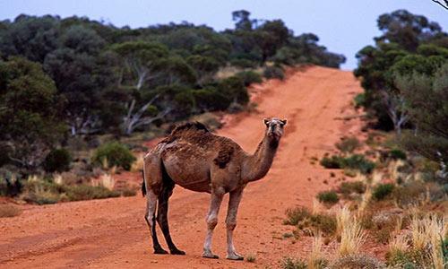 استرالیا درصدد کشتار هزاران شتر است