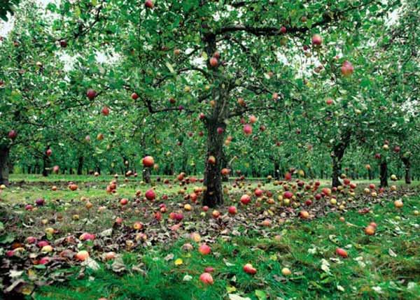 روشهای کنترل ریزش میوه سیب در باغات