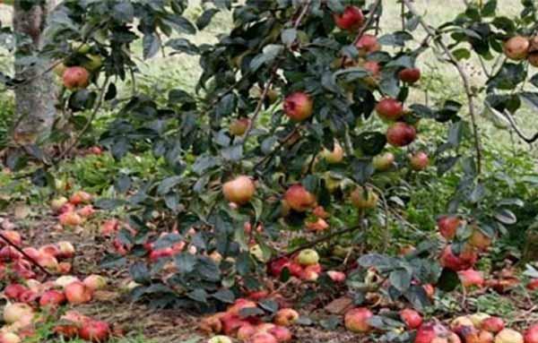 چگونه از ریزش میوه سیب جلوگیری کنیم
