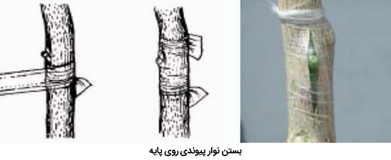 نحوه بستن نوار پیوندی روی پایه نهال مرکبات